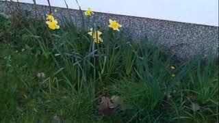 Hoffnungszeichen – Osterglocken. Ein Wink der Auferstehung am Rande…des Pfarrhauses